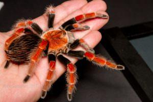 Tarantula Haven – A site for tarantula enthusiasts